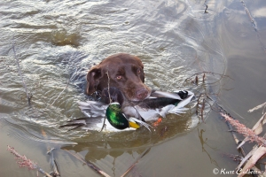 A Greenhead's colors glowing on retrieve