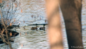 Mallards retreat