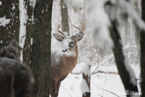 An 8-point not seeming to mind the snow covering his face